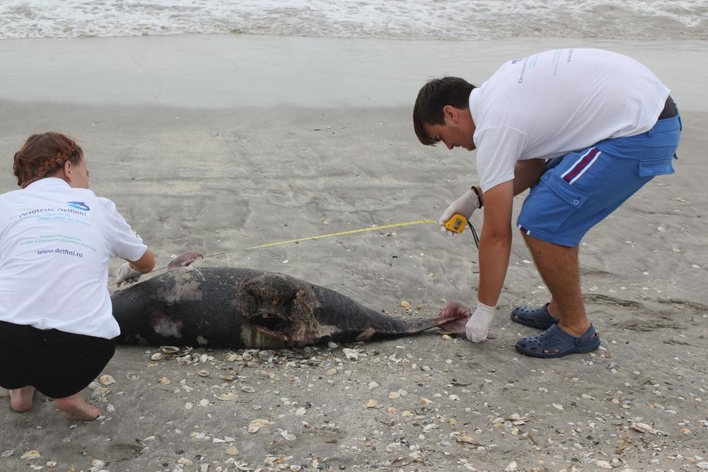 Doi delfini au eșuat pe plajele litoralului