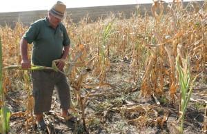 Seceta prelungita face ravagii in agricultura