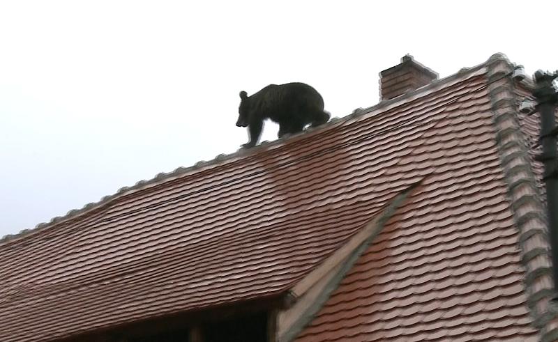 Șeful Poliției din Sibiu a demisionat. El spune că nu ar fi ordonat ca ursul să fie călcat cu mașina