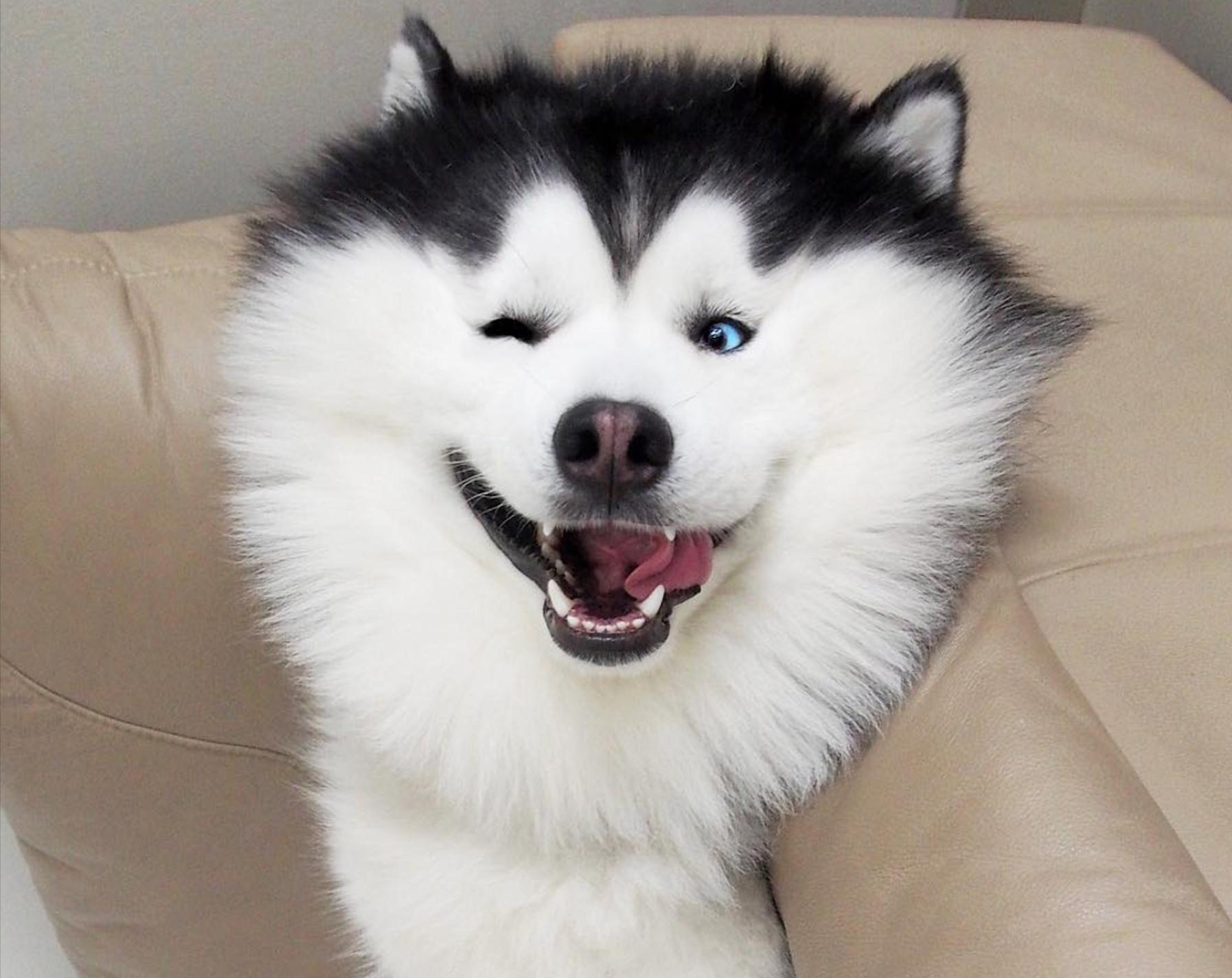 Maru, cel mai fericit husky din lume! Fotografiile au făcut înconjurul internetului