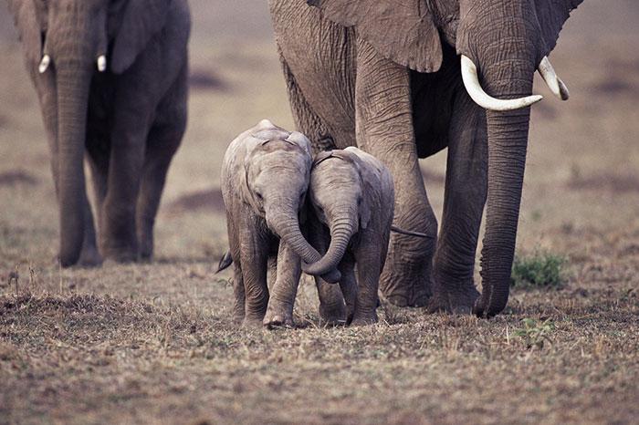 Top fotografii cu pui de elefanți care cu siguranță te vor face să zâmbești