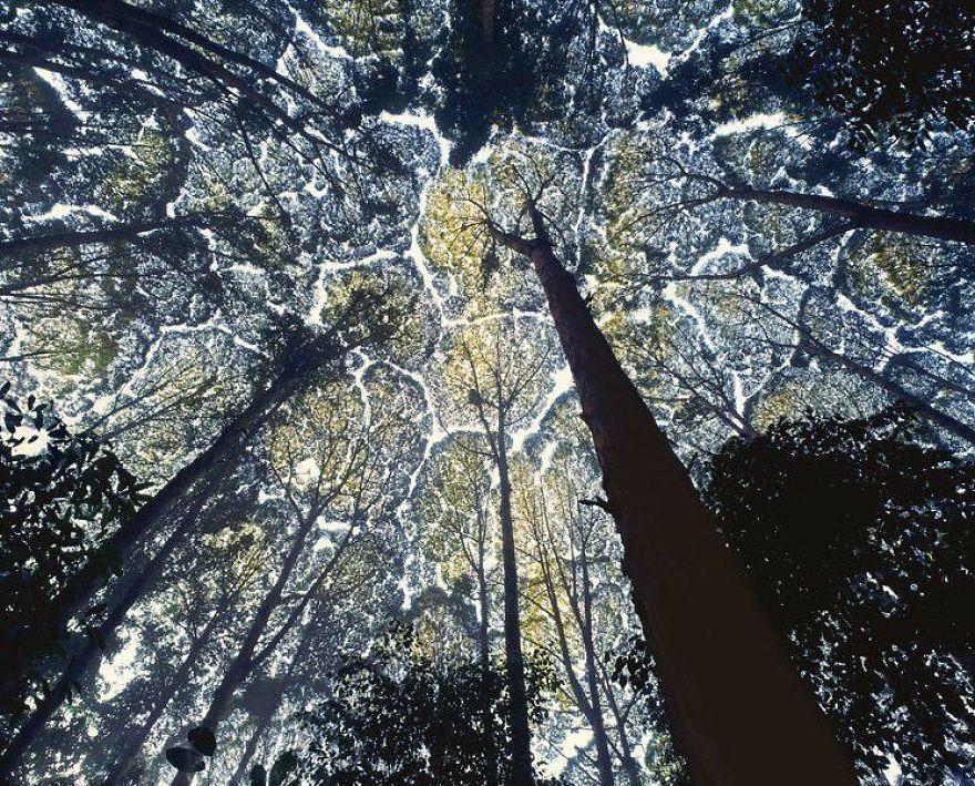 """""""Timiditatea coroanelor"""", fenomenul care nu lasă copacii să se atingă! Fotografii uimitoare"""