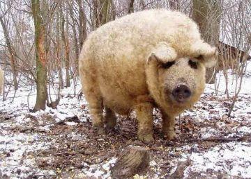 A venit rândul porcului. Daea vrea să împartă purcei Mangalița fermierilor