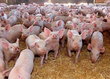 China, în criză de porci. Pesta porcină africană a paralizat ţara