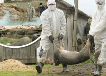 Un sfert din țară este măcinată de pesta porcină