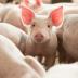 """Descoperire revoluționară. Cercetătorii au """"repornit"""" creierul unui porc la câteva ore de la sacrificare"""
