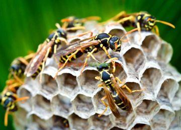 Cum să scăpăm de viespi? Câteva sfaturi utile