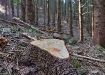 CE a deschis formal procedura de infringement României pentru tăierile ilegale de păduri